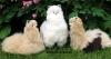 Alpaca standing/ Alpaca cushing